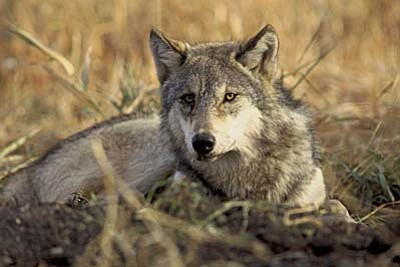 A mystery animal has been seen around Grand Canyon and is thought to be a gray wolf like this or a hybrid. (U.S. Fish and Wildlife Service Photo)