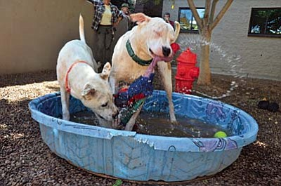 Aura and Kimmy cool off at the Verde Valley Humane Society doggy pool Tuesday morning where the society cools off dogs in hot weather. Temperatures are predicted to top 100 degrees for several days and the society is warning pet owners to pay attention to their pets during these dog days of summer heat. VVN/Vyto Starinskas