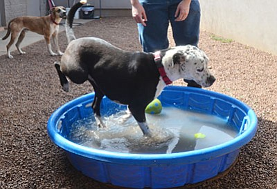 Shelter employee Patti Marple cools off Meg at the Verde Valley Humane Society on Wednesday. VVN/Vyto Starinskas
