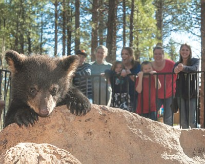 Visitors to Bearizona Wildlife Park in Williams watch one of the park's bear cubs play in the walk through portion of the attraction. Submitted photo