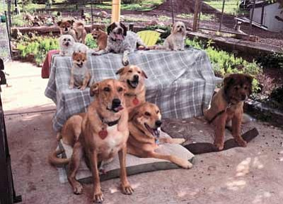 A group of rescued dogs waits for a new home. Proceeds from SAVE-MTR's Casino Night, which takes place Friday, will go toward building a dog shelter in Williams. Submitted photo