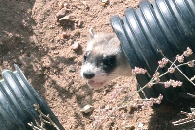 A black-footed ferret is released on a ranch in northern Arizona that will serve as the second reintroduction site for the species in the state. Photo/Kayla Wall