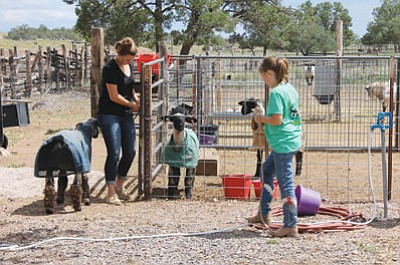 Cataract 4-H Club members Bailee and Ellie Cameron prepare their lambs for the Coconino County Fair. Wendy Howell/WGCN