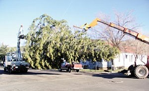 Crews from the Grand Canyon Railway, city of Williams and Arizona Public Service slowly move the community Christmas tree along Grant Avenue Nov. 14. The size of the tree created various challenges, one of which was keeping the tree underneath power lines. The crews were escorted by the Williams Police Department.