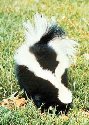 Fourteen rabid foxes, six skunks and a ringtail-Bassariscus astutus have been found in the Flagstaff area recently.