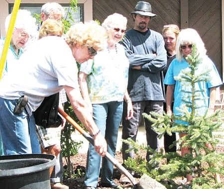 John Christian Hopkins/WGCN Bruny Loprieato plants a spruce in honor her late husband, Nickolas, who volunteered for the Senior Center.