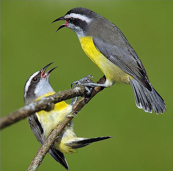 The Bananaquit or Sugar Bird