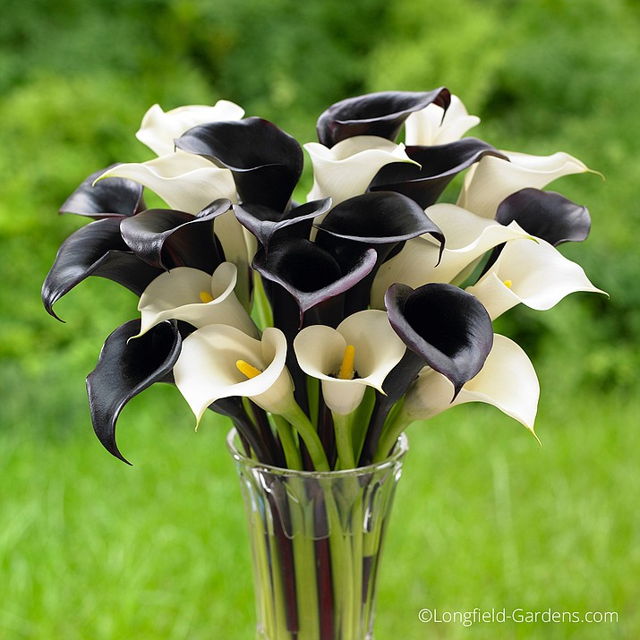"When planting calla lilies, the black flowers of ""Night Cap"" teamed with the white blooms of ""Crystal Clear"" create an elegant display."