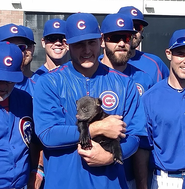 In this photo provided by Jason P. Skoda, Chicago Cubs' Anthony Rizzo holds one of two bear cubs during spring training baseball, Friday in Mesa. The 10- to 12-week-old cubs were brought in from Bearizona, a wildlife park in Williams.