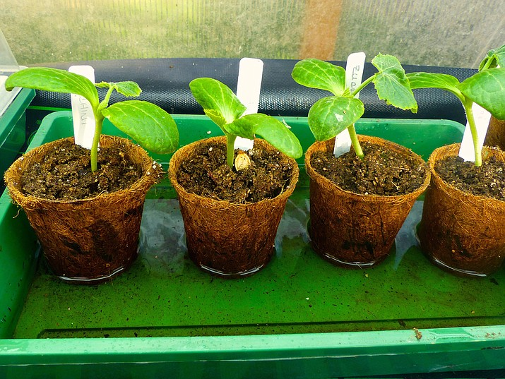 In this March 17 photo, these porous recycled pots in a Langley, Wash., greenhouse, pick up water from the tray for these seedlings via capillary action, a good way to replenish the roots.