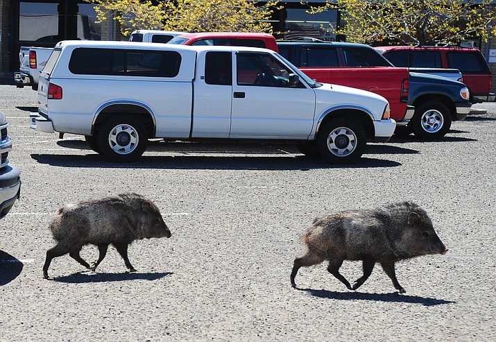 Feeding wildlife, such as javelina, can bring them farther into town. This pair decided to make at stop at The Daily Courier offices on a Tuesday morning in 2014.