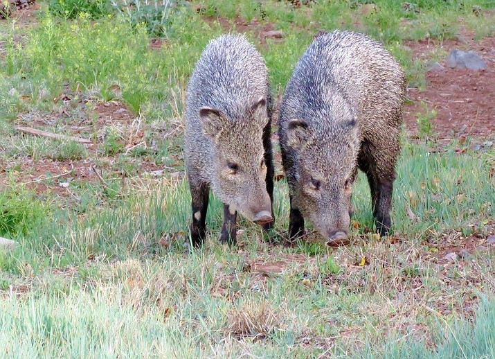 A pair of javelina on the 11th fairway at Prescott Lakes Golf Club in April 2016.