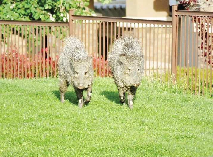 A pair of javelina makes its way across the Prescott Lakes Golf Course.