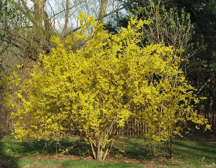 In this undated photo, a forsythia is shown in New Paltz, New York. This forsythia was in all its glory this spring because it was pruned well last spring.
