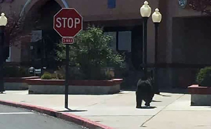 A black bear led public safety authorities on a chase Sunday - from Rosser and Highway 89, to Frontier Village, and back into the city.