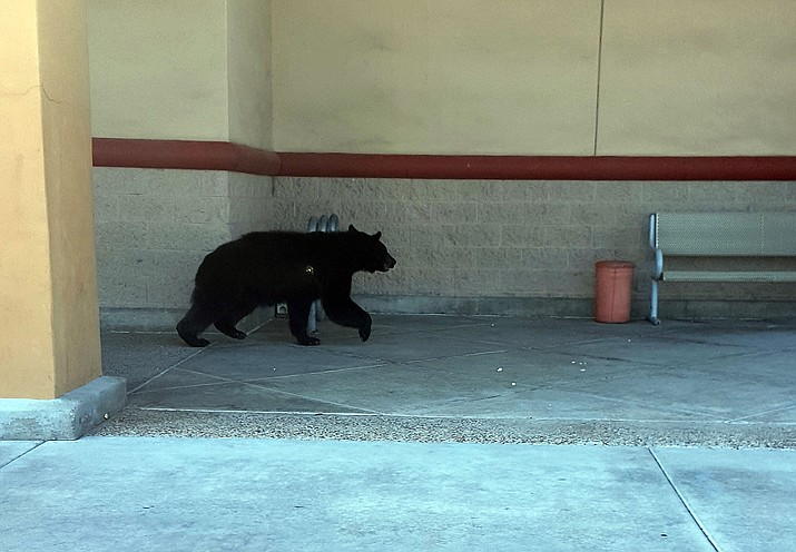 A black bear makes its way down the sidewalk at the Frontier Village shopping center Sunday morning, June 26.