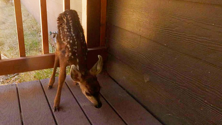 Visitors brought this fawn to a Grand Canyon Park office after wrongly thinking it had been abandoned.