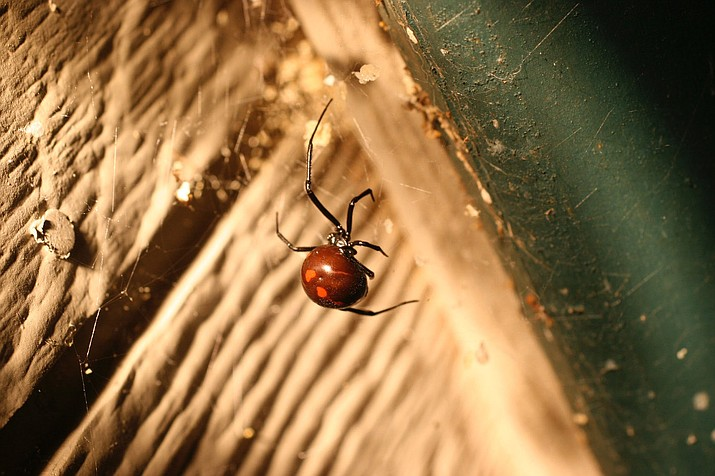 This undated photo shows a Black Widow spider taken in a shed near New Market, Va. Spiders are one of the gardener's best tools for biological pest control and also are one of the few pest predators that don't eat plants.