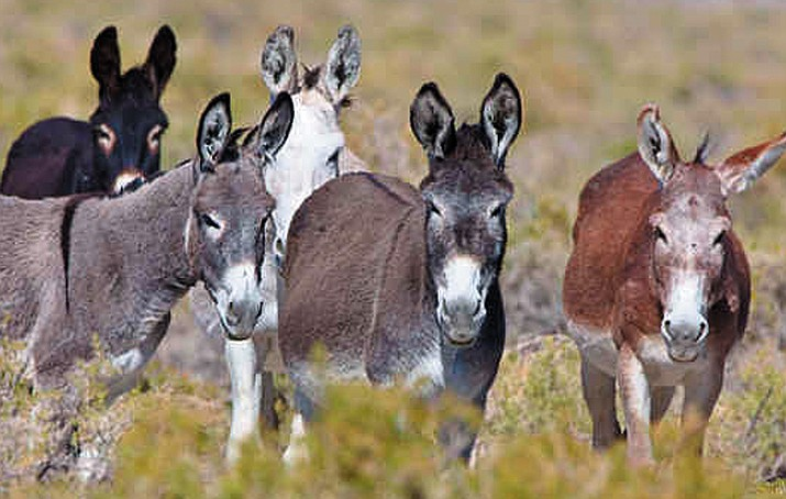 Wild burros roam the desert.