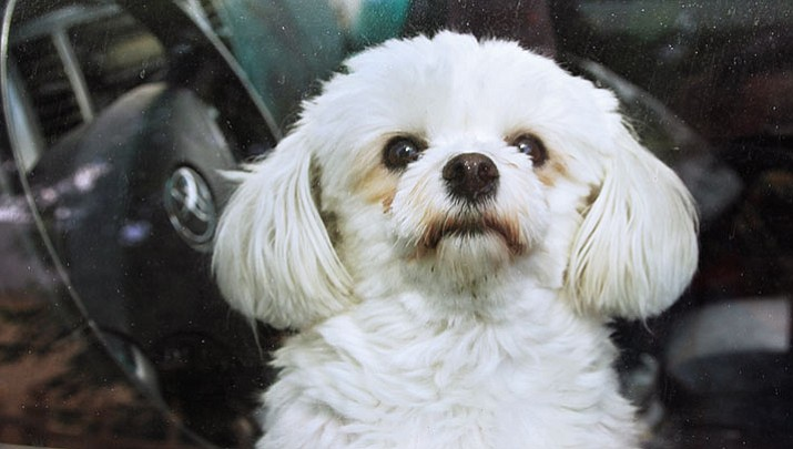 Gracie, the photographer's Havanese dog, sits inside a vehicle on a hot summer day (but only momentarily and with the air conditioner going).
