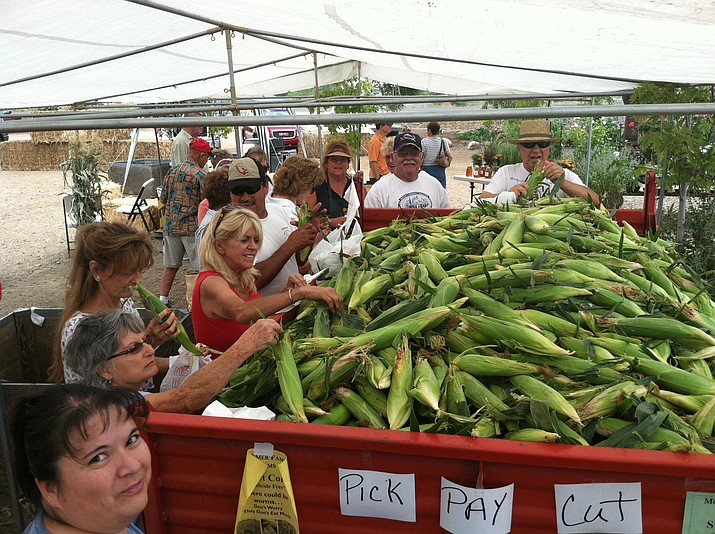 People enjoying sifting through the pile of fresh corn harvested at Mortimer Farms in Dewey.
