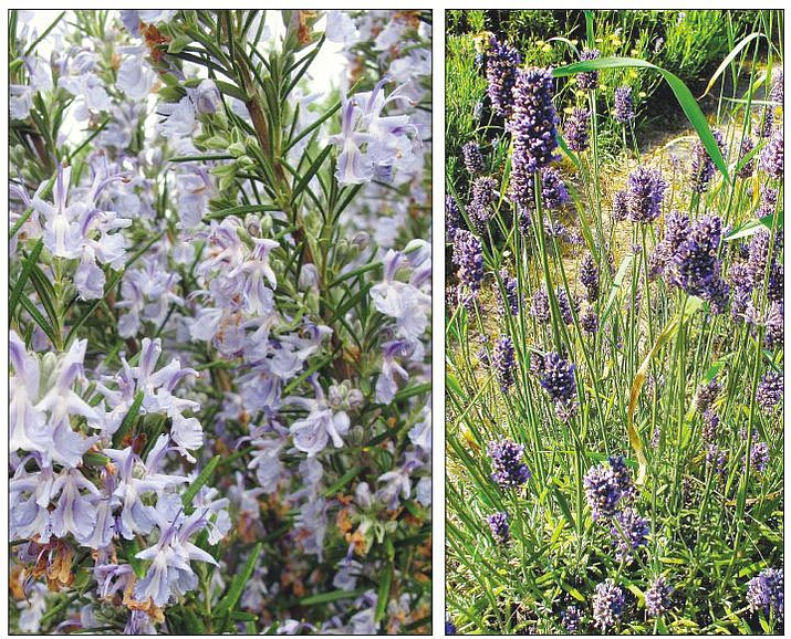 Lavender, at left, grows in a garden near Coupeville, Wash. Many old-world plant species grow well in sun-seared settings and are pleasing to gardeners as well as pollinators. Russian sage, European salvia and lavender are honeybee magnets. 