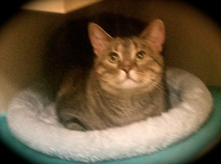 Casey is a 3.5-year-old brown tabby who is healthy and spayed.