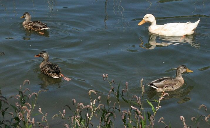 A domestic goose paddles around Lynx Lake with some ducks Monday morning, Aug. 29.