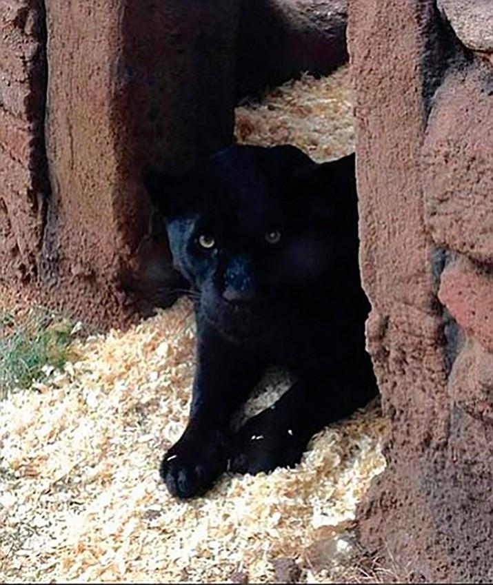 Serafina is the new jaguar at Bearizona. Photo/courtesy of Bearizona