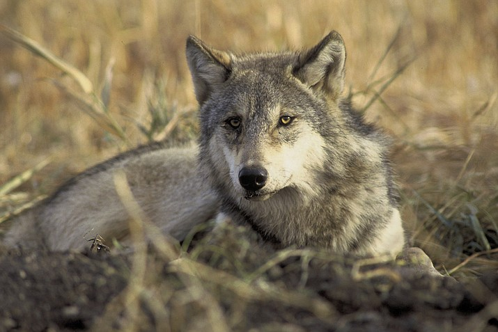 Considered critically endangered, as few as 50 Mexican gray wolves remain in the wild. The United States and Mexico are collaborating on recovery and breeding efforts.