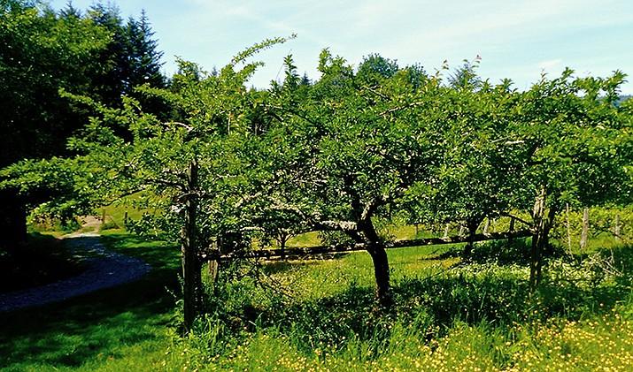 Backyard mini orchards: Smaller apple trees a popular ...