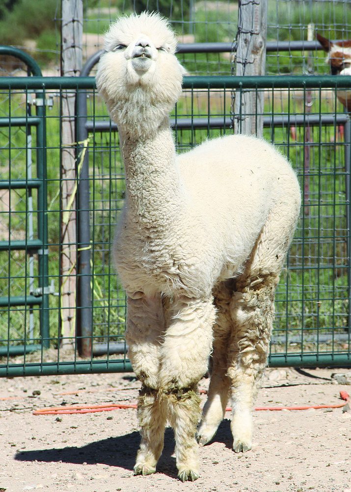 Belle and other Alpacas are ready for the Alpaca Farm Days crowd this upcoming weekend.