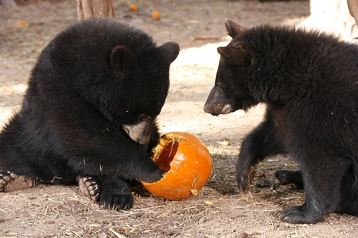 The Howly Growly Owly Festival at Bearizona runs every weekend in October.