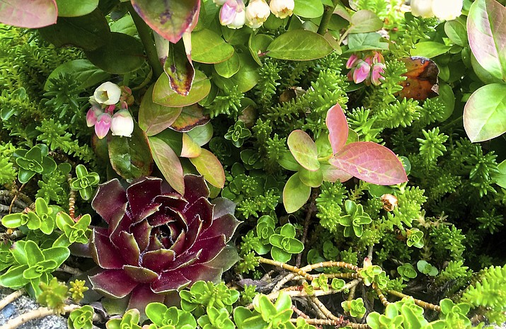 This April 15, 2016 photo provided by Dean Fosdick, shows a succulent mix in Fosdick's Langley, Wash., greenhouse. Think of succulents as the new African violets. They thrive indoors or out. Succulents are easy to deal with, are resistant to disease and thrive in the dry humidity common inside homes in winter. (AP Photo/By Dean Fosdick)  (Dean Fosdick via AP)