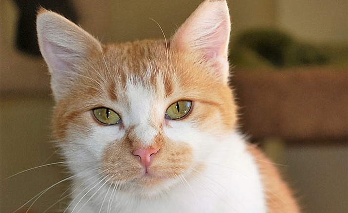 Butterscotch is a sweet 11-month-old kitten at Miss Kitty's Cat House.