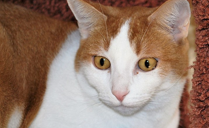 Honey is a 3- to 5-year-old girl with orange and white short hair and gold eyes.