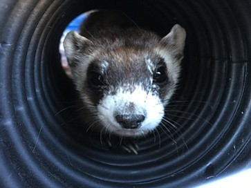 Once critically-endangered, Arizona's black-footed ferrets are begining to thrive after reintroduction. Photo/AZGFD