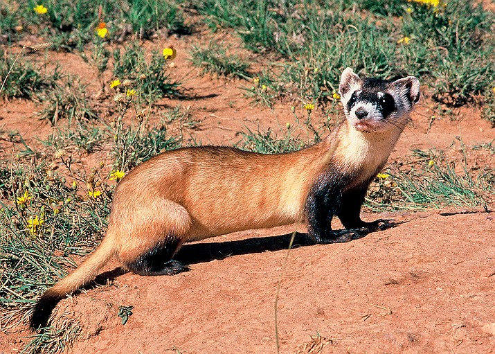 A Black-footed ferret responds to researchers. The species was thought to be extinct until a small colony of ferrets was discovered in Wyoming in 1981.