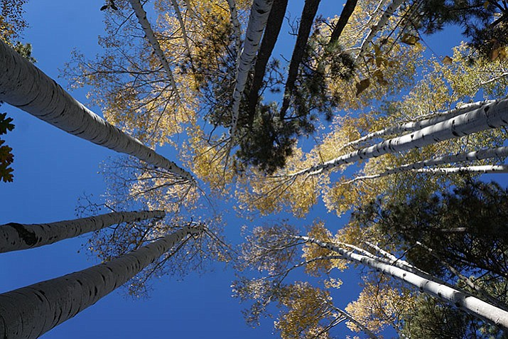The aspen trees along Copper Basin Road were in their full fall glory this past weekend – just one example of the evolving fall colors currently underway in the Prescott area.