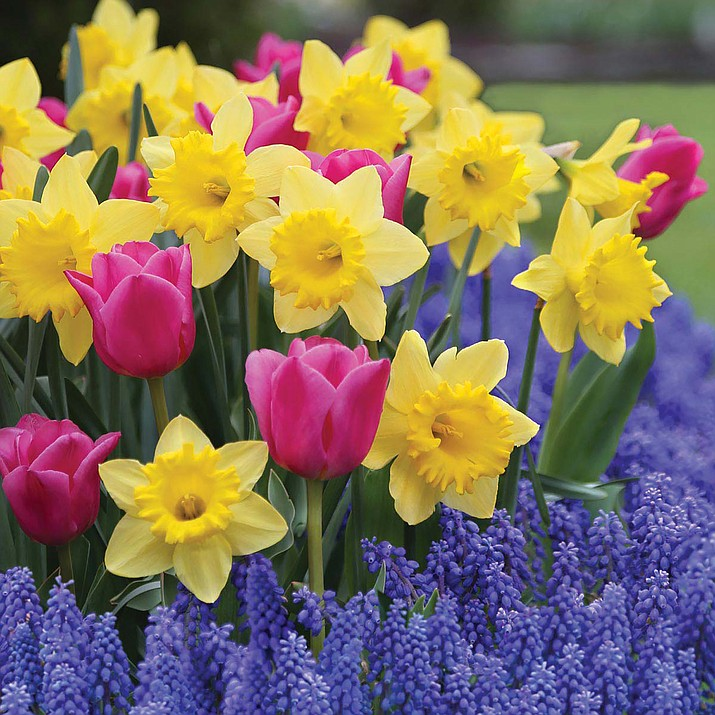Daffodils, tulips and hyacinths are among the first signs of spring