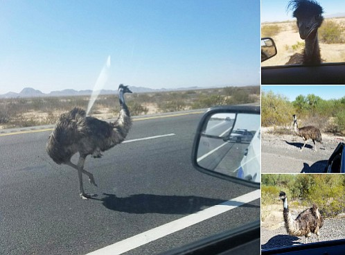 The Department of Public Safety Tweeted photos from the emu scene.