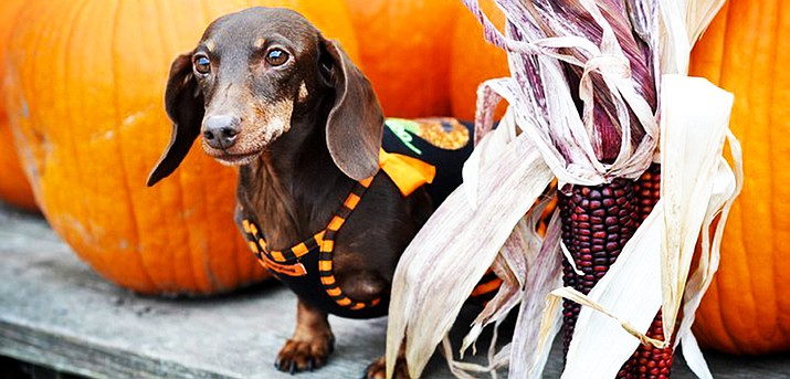 Pet owners like to dress their dogs, including this dachsund, in Halloween costumes, but should keep a close watch on them to make sure they don't chew up the costumes and ingest material.