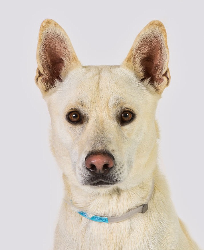 Frost is a 2-year-old Australian Cattle Dog/Siberian Husky mix at Yavapai Humane Society.