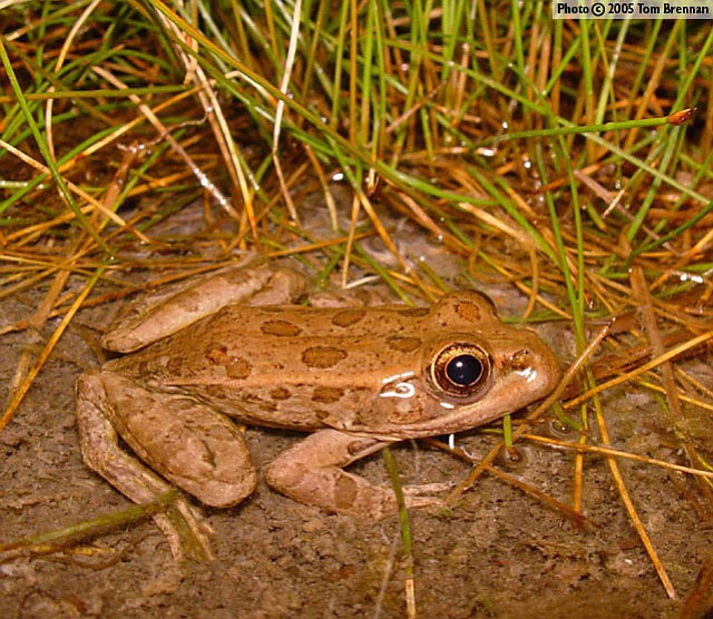 The relict leopard frog lives in springs around northwestern  Arizona and Nevada.