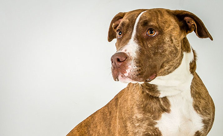 Joan is a 5-year-old American pit bull mix at Yavapai Humane Society, 1625 Sundog Ranch Road, looking for her forever home.