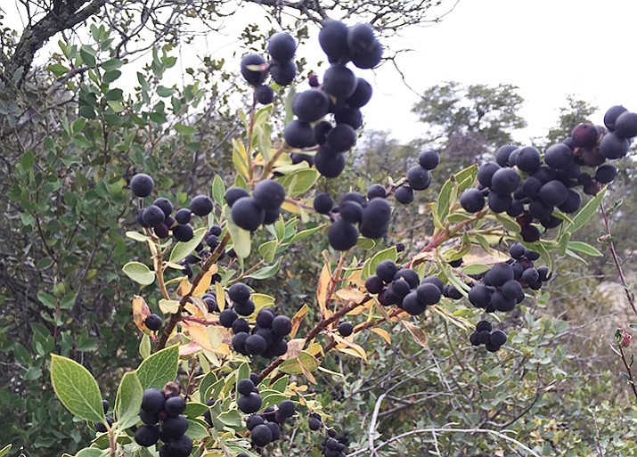 Berry-producing shrubs hold their fruit into the winter months and provide a food source for birds.
