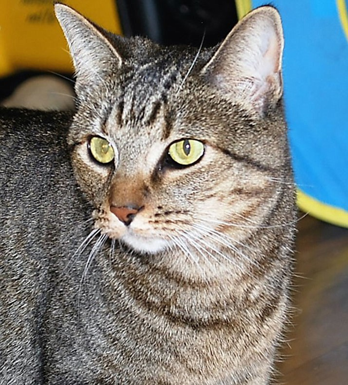 Katie is a beautiful, 2-year-old short-haired brown tabby with green eyes.