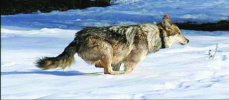 The Arizona Livestock Loss Board hopes the compensation program will promote tolerance of the Mexican wolves being reintroduced to working livestock production areas.