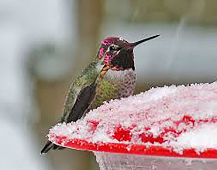 Sometimes, hummingbirds do spend the winter in Prescott. Feeding them in freezing temperatures requires special care.