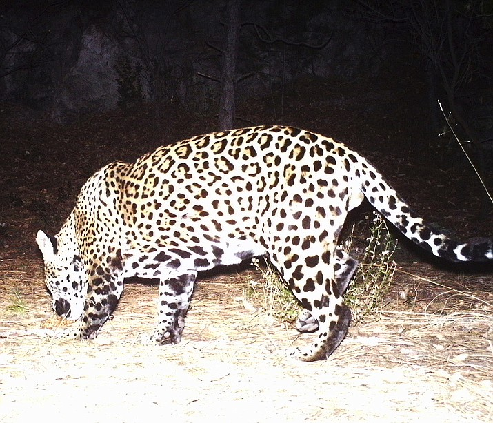 An Army trail camera captured an image of this jaguar in southeastern Arizona,leading wildlife officials to speculate this is the second cat, once thought extinct in Arizona, observed in the state over the past two years.